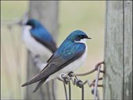 Tree Swallows (3)