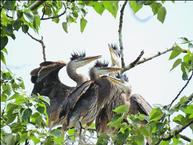 Blue Heron Babies (5)