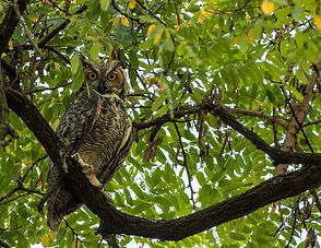 Great Horned Owl in Udalls Cove.jpg