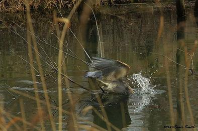 Heron on Aurora Pond-1, by Bruce Smith.j
