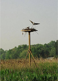 OspreysBuildingNest-2004.jpg