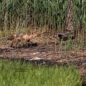 Fox in Udalls Cove by Steve Rossi.jpg