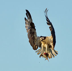 Osprey with Bunker by Philippe Barbou.jp