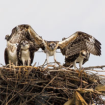Osprey flying school by Steve Rossi.jpg