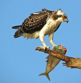Osprey with Fish-2 Photo by Ray Mochizuk