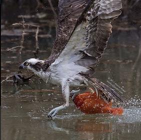 Osprey with Koi on Aurora Pond by Steve