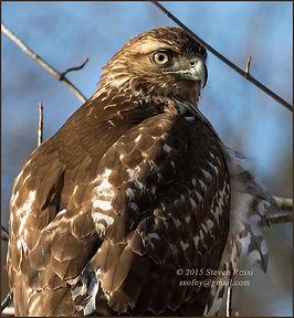 Steve Rossi-Redtail Hawk at Aurora Pond-
