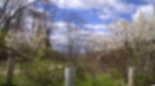 Shadblow Trees.jpg