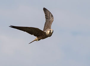 Peregrine Falcon by Phillippe Barbou.jpg