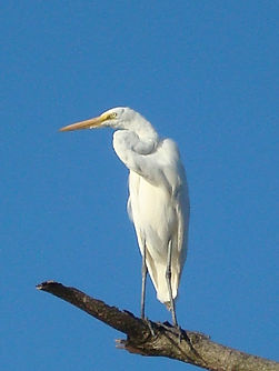 Egret at Virginia Point (Photo by Ray Mo