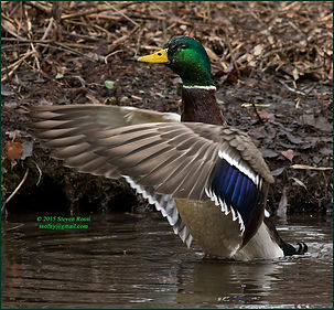 Steve Rossi-Mallard on Aurora Pond.jpg