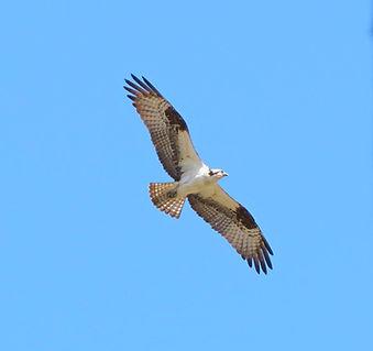 Osprey in Flight (Photo by Ray Mochizuki