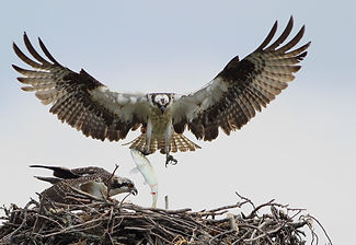 Ospreys by Philippe Barbou.jpeg