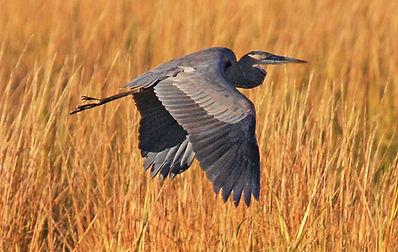 Great Blue Heron at Virginia Point 11-10