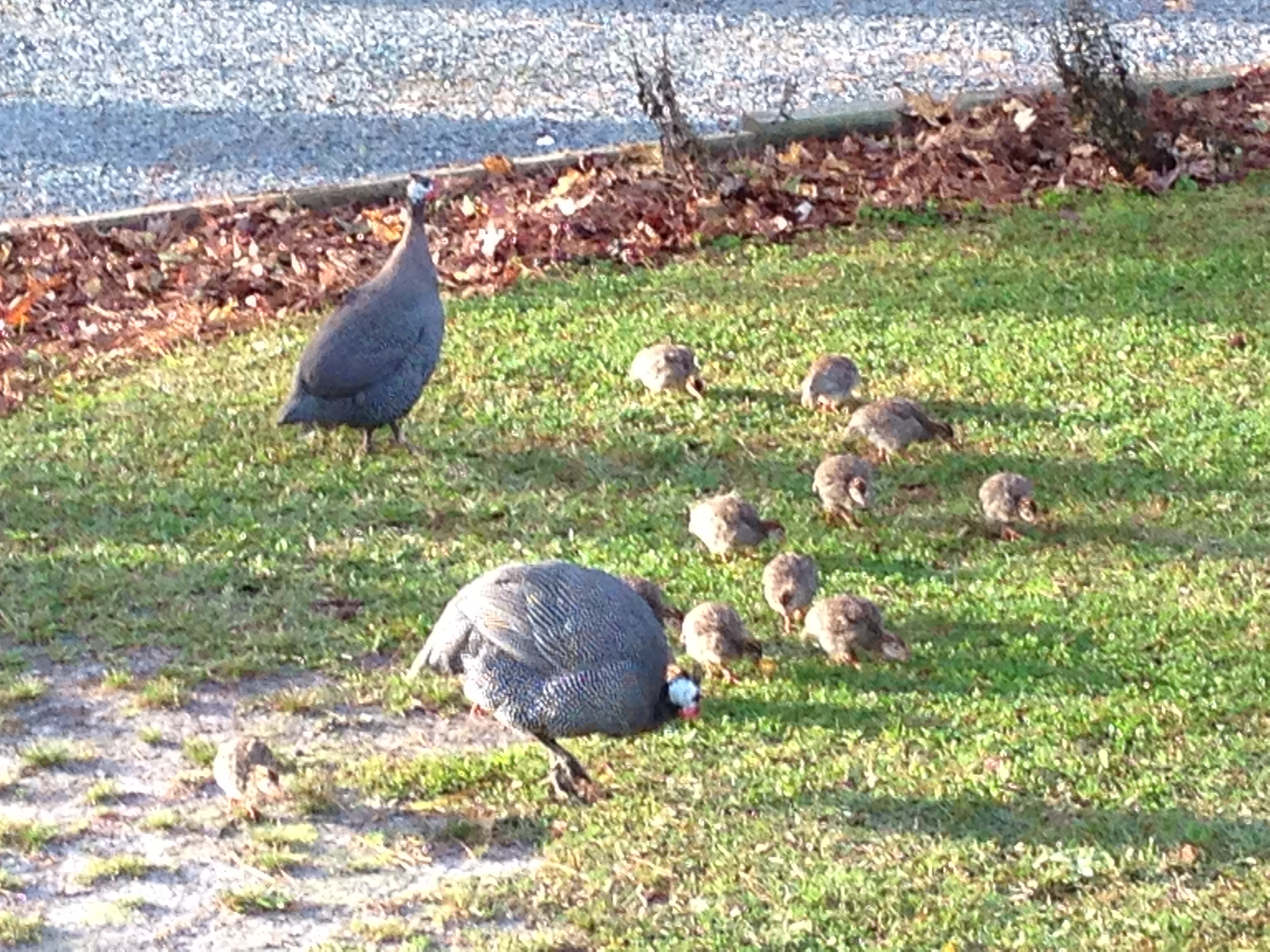 Guinea Fowl and Babies