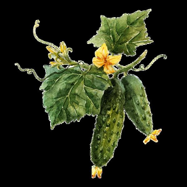Cucumber 05.png