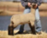 2018 ram lamb by Shoot Yhea.jpg