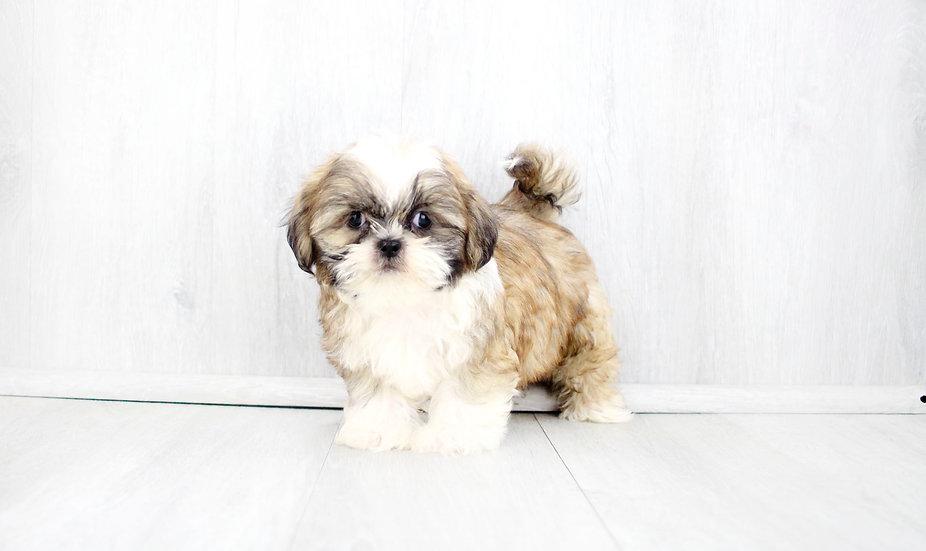 aca shih tzu puppy for sale