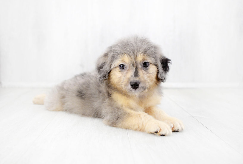 mini aussiedoodle puppy for sale