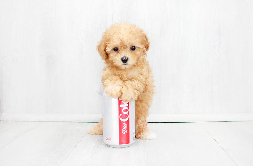 teacup toy poodle puppy for sale