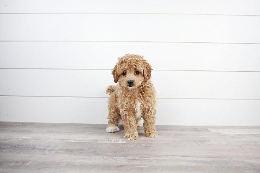 f1b cavapoo puppy for sale