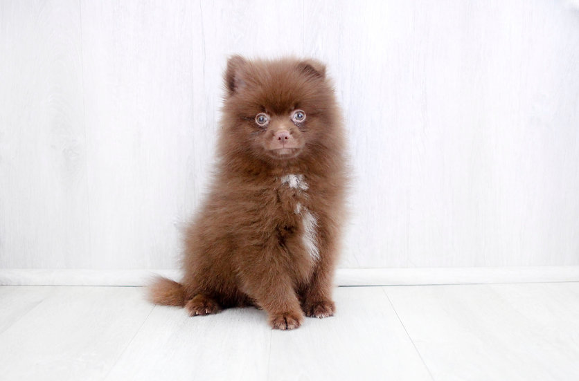aca pomeranian puppy for sale