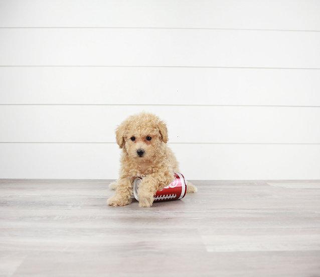 maltipoo puppy for sale