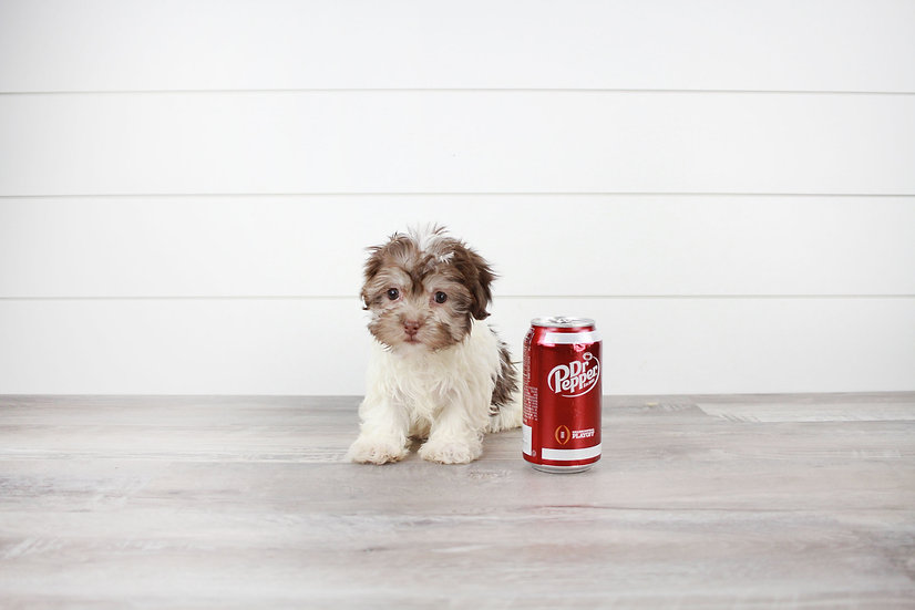 AKC HAVANESE PUPPY FOR SALE