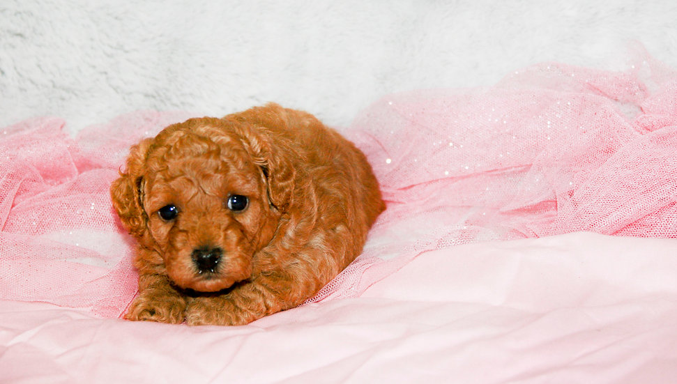 f1b cavapoo puppy for sale