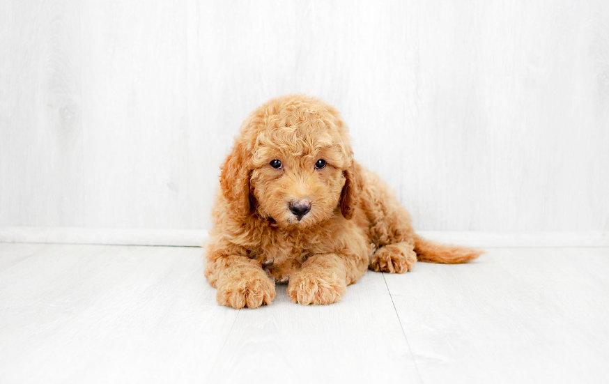 f1b mini goldendoodle for sale