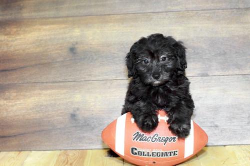Puppies For Sale Columbus Ohio Sunrise Pups Small Breed Puppies