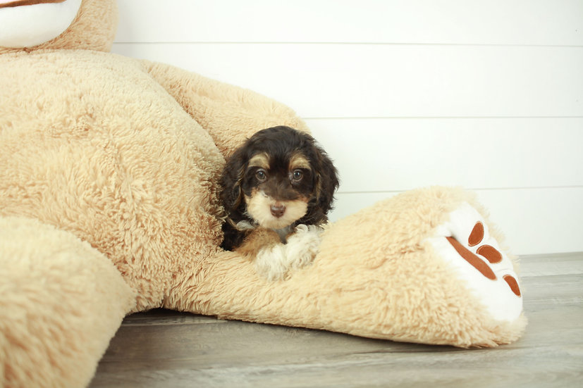 yorkchon puppy for sale