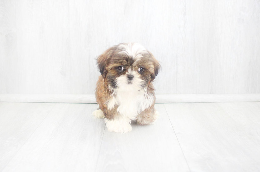 aca shih tzu puppy for sale
