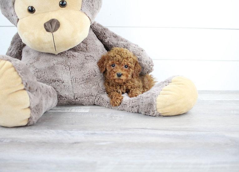 f1b petite mini goldendoodle puppy for sale
