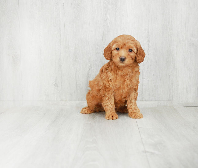 f1b mini goldendoodle puppy for sale