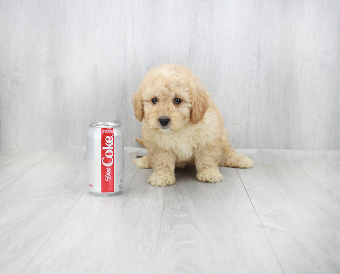 f1b mini goldendoodle for sale