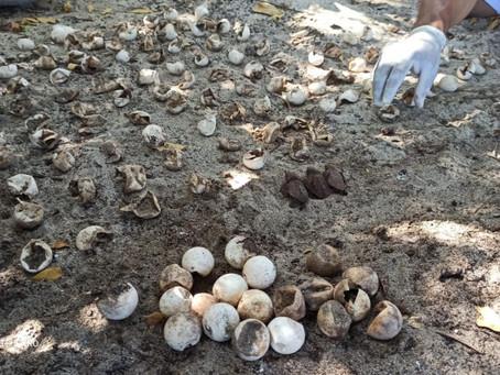nacieron 116 neonatos de tortuga Carey en el Parque Nacional Natural Tayrona