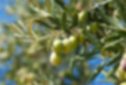 essenciel-oliviers.jpg
