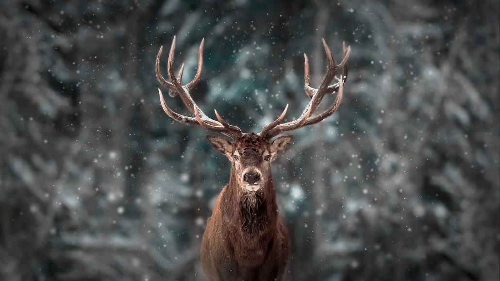 Noble deer male in winter snow forest. A