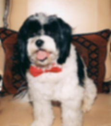 Shelter Dog with a bow tie on the couch black and white canine