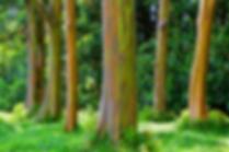 eucalipto-arcobaleno-1.png