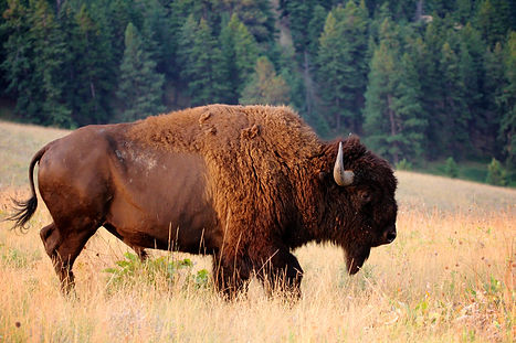 American Bison Buffalo side profile earl