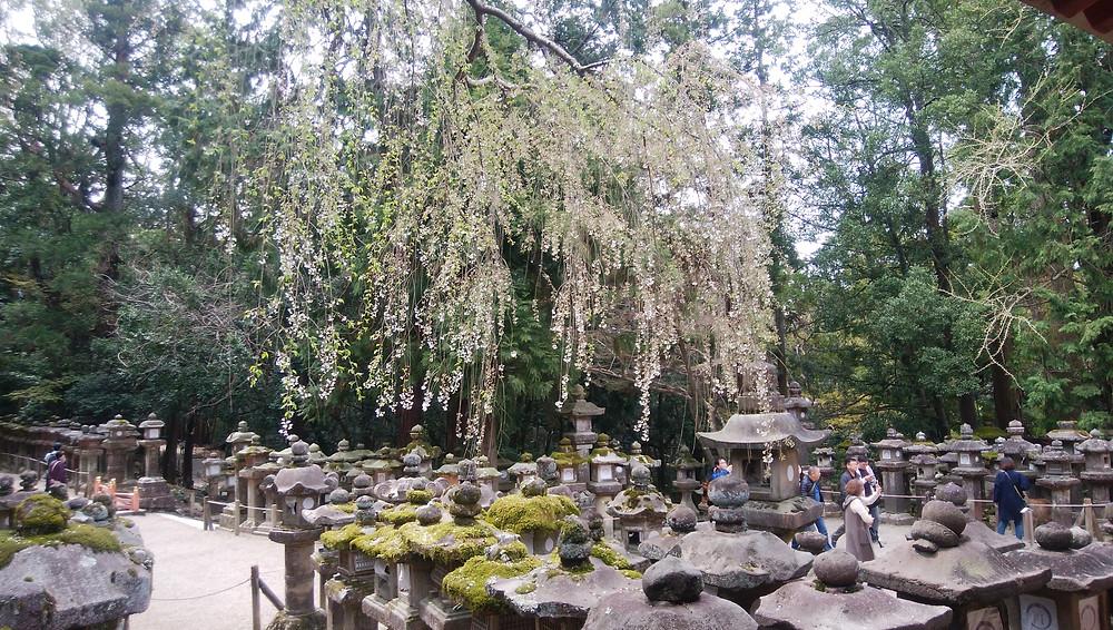 春日大社枝垂桜