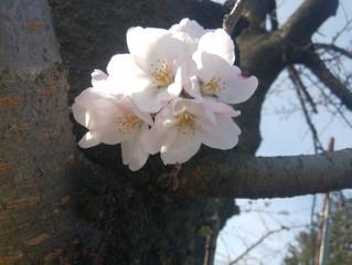 開花宣言🌸
