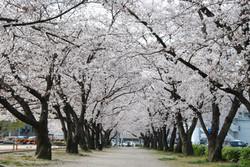 参道桜並木