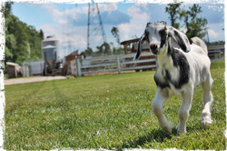 Goat with border.jpg