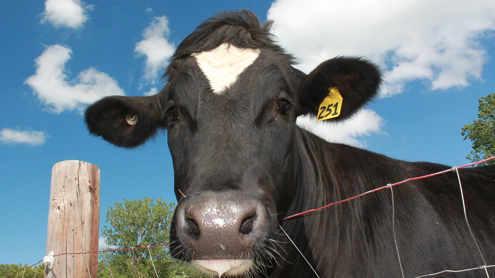 Clean Beef Cattle