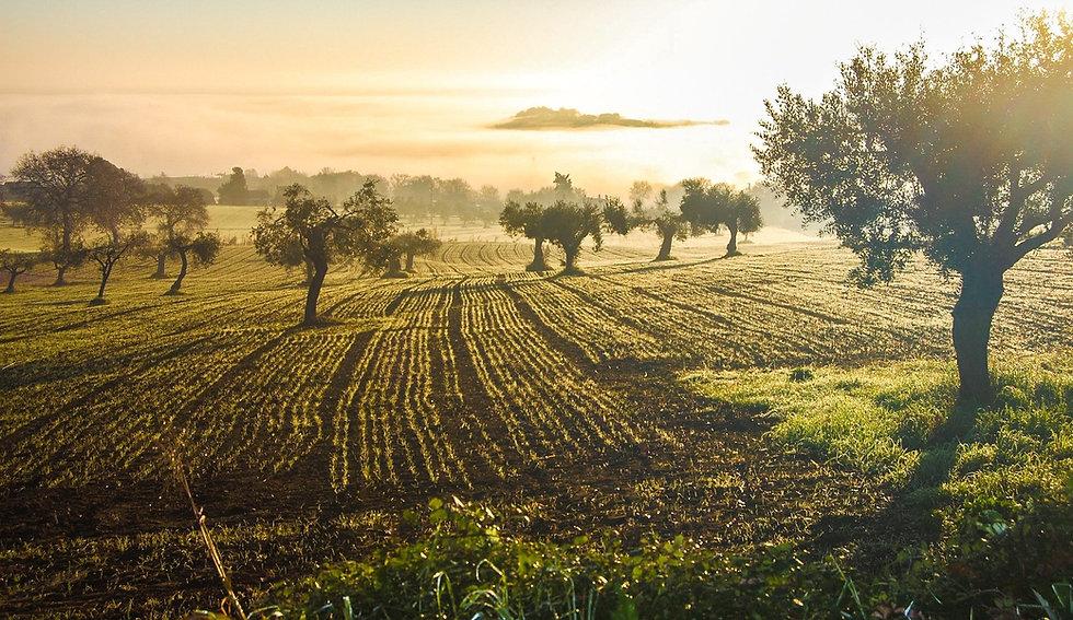 olive-grove-3453760_1920 (1).jpg