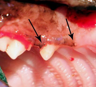 Bien sûr, à gauche, vous avez vu cette lésion de résorption de stade 4. Mais à droite, il manque aussi une couronne !