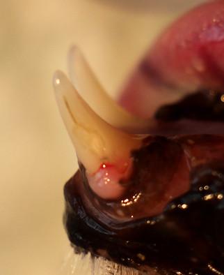 Ces lésions peuvent concerner n'importe quelle dent, même les canines ou les incisives